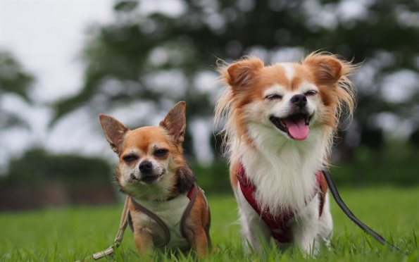 thumb2-chihuahua-small-dogs-dogs
